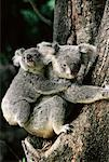 Koala Bears Australia    Stock Photo - Premium Rights-Managed, Artist: Greg Stott, Code: 700-00004770