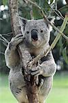 Koala Bear Australia    Stock Photo - Premium Rights-Managed, Artist: Greg Stott, Code: 700-00004771