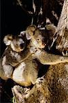 Koala Bears in Tree Australia