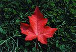 Autumn Maple Leaf    Stock Photo - Premium Rights-Managed, Artist: Roland Weber, Code: 700-00007684