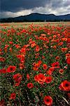 Field of Poppies Alsace, France    Stock Photo - Premium Rights-Managed, Artist: Roland Weber, Code: 700-00010599