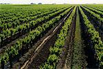 Vineyards North of Bakersfield California, USA    Stock Photo - Premium Rights-Managed, Artist: J. A. Kraulis, Code: 700-00011056
