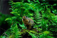 Columbian Ground Squirrel Glacier National Park British Columbia, Canada    Stock Photo - Premium Rights-Managednull, Code: 700-00011914