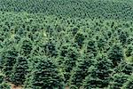 Tree Farm Oregon, USA    Stock Photo - Premium Rights-Managed, Artist: J. A. Kraulis, Code: 700-00012721