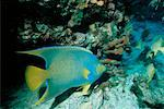 Underwater View of Blue Angelfish Near Key Largo, Florida, USA    Stock Photo - Premium Rights-Managed, Artist: Dale Sanders, Code: 700-00013836