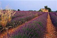 Lavender Field Provence, France    Stock Photo - Premium Rights-Managednull, Code: 700-00018636