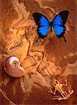 Ulysses Swallowtail Butterfly Nautilus Shell, Archaeopteryx Fossil and Bullfrog Skeleton    Stock Photo - Premium Rights-Managed, Artist: Daryl Benson, Code: 700-00019657