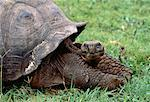 Portrait of Giant Tortoise Galapagos Islands, Ecuador    Stock Photo - Premium Rights-Managed, Artist: Greg Stott, Code: 700-00019835
