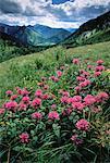 Wild Bergamot Kananaskis Country Alberta, Canada