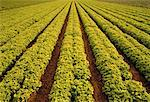 Leaf Lettuce Field Salinas Valley California, USA