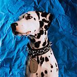 Portrait of Dalmatian    Stock Photo - Premium Rights-Managed, Artist: Robert Karpa, Code: 700-00023017