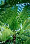 Close-Up of Palm Trees Costa Rica    Stock Photo - Premium Rights-Managed, Artist: Peter Christopher, Code: 700-00023191