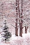 Maple Trees in Winter High Park Toronto, Ontario, Canada (Part of 4 Seasons Series)