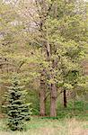 Maple Trees in Spring High Park Toronto, Ontario, Canada (Part of 4 Seasons Series)