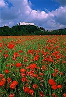 Poppy Field Salzberg, Austria    Stock Photo - Premium Rights-Managednull, Code: 700-00025773
