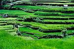 Huts on Terraced Rice Paddies Bali, Indonesia    Stock Photo - Premium Rights-Managed, Artist: R. Ian Lloyd, Code: 700-00026409