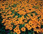 Black-Eyed Susans Burlington, Ontario, Canada    Stock Photo - Premium Royalty-Free, Artist: Peter Griffith, Code: 600-00029061