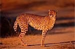 Cheetah    Stock Photo - Premium Royalty-Free, Artist: Horst Klemm, Code: 600-00029668