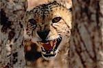 Portrait of Cheetah Snarling    Stock Photo - Premium Royalty-Free, Artist: Horst Klemm, Code: 600-00030505