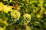 Close-Up of Grapes on Vine Austria    Stock Photo - Premium Rights-Managed, Artist: Bryan Reinhart, Code: 700-00041287