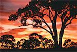 Sunset and Trees Clare Valley South Australia, Australia    Stock Photo - Premium Rights-Managed, Artist: R. Ian Lloyd, Code: 700-00044818