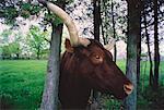 Ox's Head Between Trees