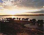 Herd of Elephants on Chobe River Bank at Sunset, Botswana    Stock Photo - Premium Royalty-Free, Artist: Horst Klemm, Code: 600-00045781