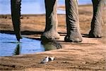 Elephant Drinking from Waterhole, Kenya    Stock Photo - Premium Royalty-Free, Artist: Horst Klemm, Code: 600-00046062
