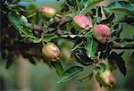 Apples on Branch    Stock Photo - Premium Royalty-Free, Artist: Ed Gifford, Code: 600-00051185