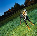 Barking Dobermann on Leash    Stock Photo - Premium Rights-Managed, Artist: Brian Kuhlmann, Code: 700-00051337