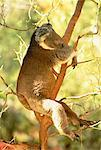 Koala Sleeping in Tree at Bannamah Wildlife Park Near Dunsborough, Australia    Stock Photo - Premium Rights-Managed, Artist: R. Ian Lloyd, Code: 700-00051438