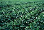 Soybean Crop Ontario, Canada    Stock Photo - Premium Rights-Managed, Artist: Peter Christopher, Code: 700-00052634