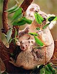 Koala with Joey Eating Leaves in Tree Queensland, Australia
