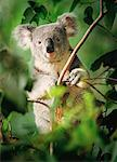 Portrait of Koala in Tree Queensland, Australia