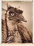 Close-Up of Emu Queensland, Australia    Stock Photo - Premium Royalty-Free, Artist: Daryl Benson, Code: 600-00053126