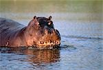 Hippopotamus in River    Stock Photo - Premium Royalty-Free, Artist: Horst Klemm, Code: 600-00053206