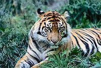 Portrait of Sumatran Tiger Metro Zoo, Toronto, Ontario Canada    Stock Photo - Premium Rights-Managednull, Code: 700-00053384