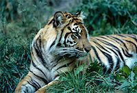 Sumatran Tiger Sitting in Grass Metro Zoo, Toronto, Ontario Canada    Stock Photo - Premium Rights-Managednull, Code: 700-00053385