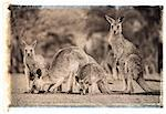 Four Kangaroos in Field Queensland, Australia