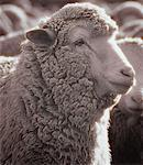 Close-Up of Sheep Near Lake Tekapo South Island, New Zealand    Stock Photo - Premium Rights-Managed, Artist: Daryl Benson, Code: 700-00053668