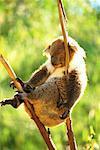 Koala Sleeping in Tree Bannamah Wildlife Park Western Australia, Australia