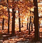 Trees in Autumn Ontario, Canada    Stock Photo - Premium Rights-Managed, Artist: Chris McElcheran, Code: 700-00060111