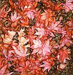 Close-Up of Autumn Leaves    Stock Photo - Premium Rights-Managed, Artist: Chris McElcheran, Code: 700-00060268