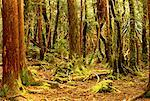Moss Covered Trees in Forest Cradle Mountain, Dove Lake Tasmania, Australia    Stock Photo - Premium Rights-Managed, Artist: R. Ian Lloyd, Code: 700-00062460