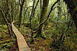 Wooden Walkway through Forest With Moss Covered Trees, Cradle Mountain, Tasmania, Australia    Stock Photo - Premium Rights-Managed, Artist: R. Ian Lloyd, Code: 700-00062534