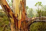 Close-Up of Tree with Stripped Bark, Cradle Mountain Tasmania, Australia    Stock Photo - Premium Rights-Managed, Artist: R. Ian Lloyd, Code: 700-00062542