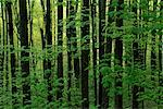 Trees and Foliage in Forest Great Smoky Mountains National Park, Tennessee, USA    Stock Photo - Premium Rights-Managed, Artist: Freeman Patterson, Code: 700-00065447