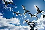 Looking Up at Gulls Flying Magog, Quebec, Canada    Stock Photo - Premium Rights-Managed, Artist: Roland Weber, Code: 700-00067497