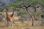 Reticulated Giraffes Samburu National Park Kenya, Africa    Stock Photo - Premium Rights-Managed, Artist: Daryl Benson, Code: 700-00070654