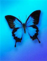 Ulysses Butterfly    Stock Photo - Premium Rights-Managednull, Code: 700-00072066
